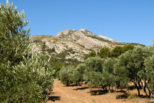 Olive tree groves in provence