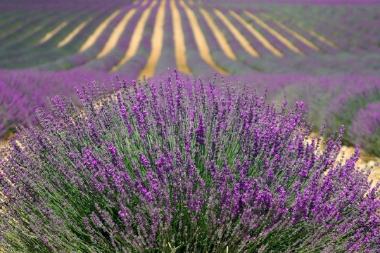 Lavender tour on the Plateau de Valensole