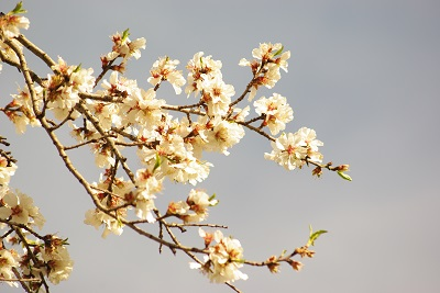 Almond trees in bloom in provence