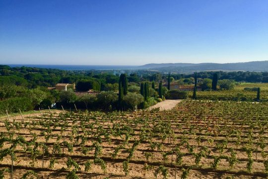Vineyards in Saint-Tropez